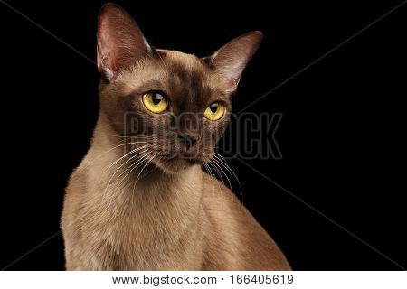 Closeup Portrait of gorgeous burmese cat with yellow eyes on isolated black background
