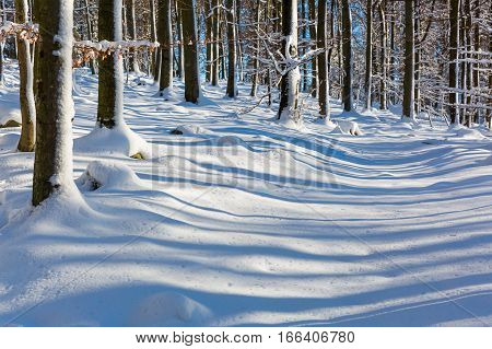 Snow Covered Beech Forest In Winter