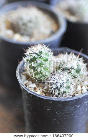 cactus plant in the flower pot ,  cactus plant i