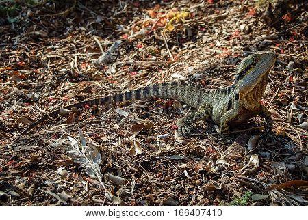 A camouflaged goanna looking alert - Brisbane, Queensland, Australia