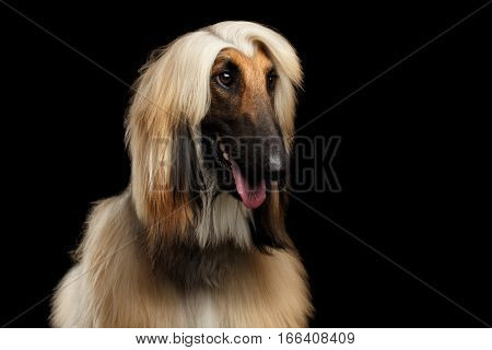 Close-up Headshot of Afghan Hound fawn Dog Amazement looking on isolated Black Background, front view