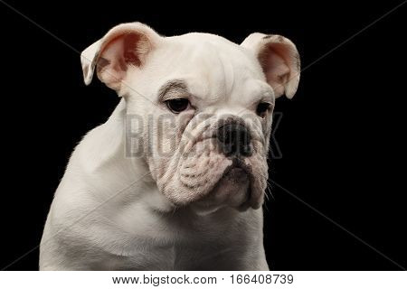 Close-up headshot white puppy british bulldog breed sadly looking down on isolated black background