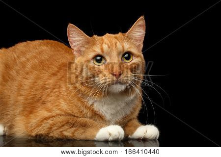 Ginger Cat Lying and sad looking up isolated black background, side view