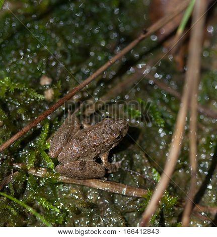 Cricket Frog (Acris) near a wetlands area