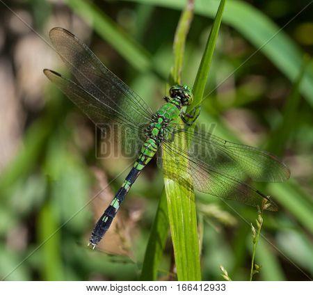 Female Eastern Pondhawk (Erythemis simplicicollis) perched on grass