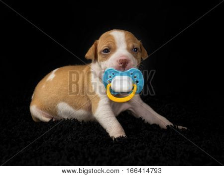 Five week old Pit-Bull puppy with a pacifier in his mouth.