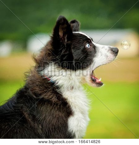 Border Collie with a funny expression over a bubble.