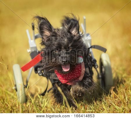 Terrier mix with handicapped wheels running towards the camera