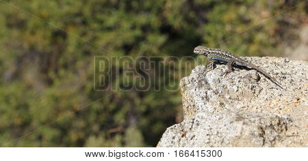 The distinctive blue belly is visible in this male Sagebrush Lizard (Sceloporus graciosus) perched on the edge of a granite outcrop. Photographed at Yosemite National Park.