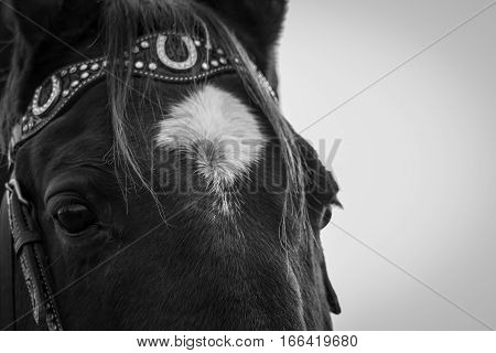 Quarter horse with his western bridle, black and white.