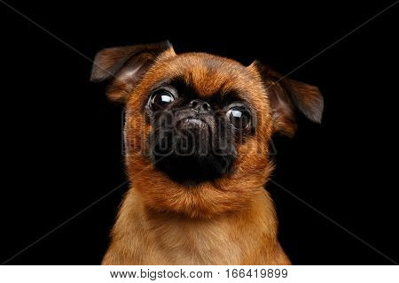Close-up headshot of unhappy petit brabanson dog sadly looking in camera on isolated black background, front view