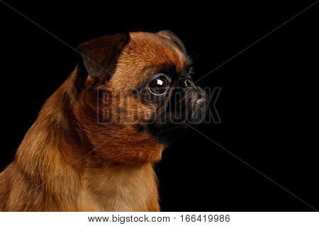 Close-up headshot of unhappy petit brabanson dog sadly looks on isolated black background, profile view
