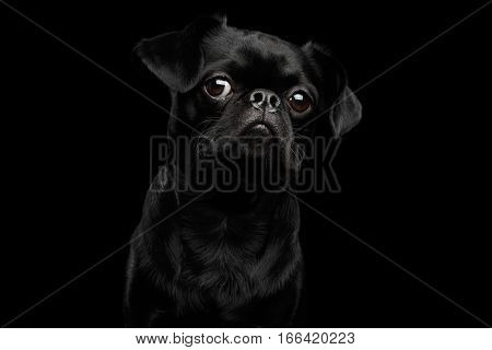 Close-up headshot of Amazing petit brabanson dog curious looking in camera on isolated black background, front view