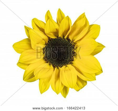 A photo of a shiny yellow sunflower, isolated on white