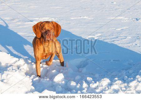 Hunting Dog On A Snowy Plain. Hungarian Pointer - Vizsla. Winter Hunting.