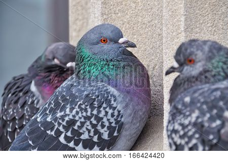 Zoom on 3 pigeons during winter at the bottom of a concrete column