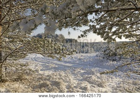 View through fir-tree branches of a snow-covered glade and a fir grove