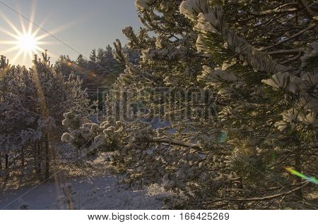 The radiant morning sun lights the branches of fir-trees brought by snow