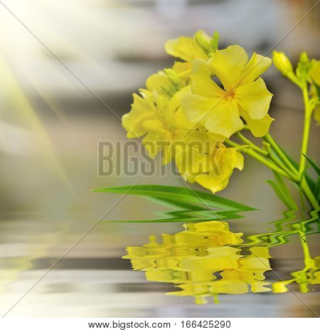 Nerium oleander beautiful yellow flower with reflect in water