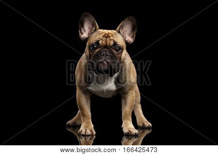 Fawn French Bulldog Dog Standing and staring in camera on isolated black background, front view
