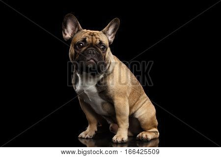 Fawn French Bulldog Dog Sitting and Looks sad on isolated black background, side view