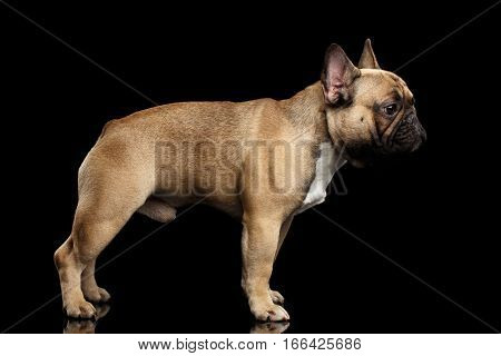 Fawn French Bulldog Dog Standing on isolated black background, side view