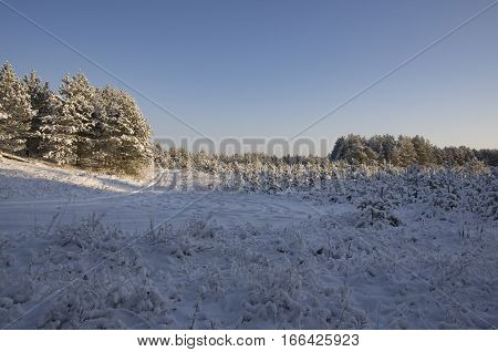 Fir grove on the edges of the wood and the road covered with snow and lit with a rising sun