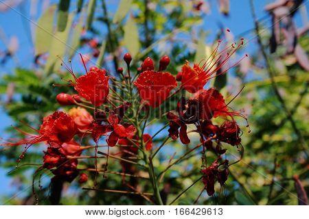 Flame tree with red flowers Delonix regia,Es uno de los árboles más coloridos del mundo por sus flores rojas, anaranjadas, un tono lila y un follaje verde brillante.