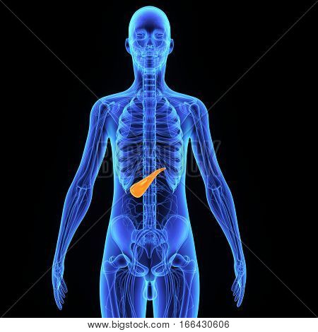 The pancreas is a glandular organ in the digestive system and endocrine system of vertebrates. In humans, it is located in the abdominal cavity behind the stomach.