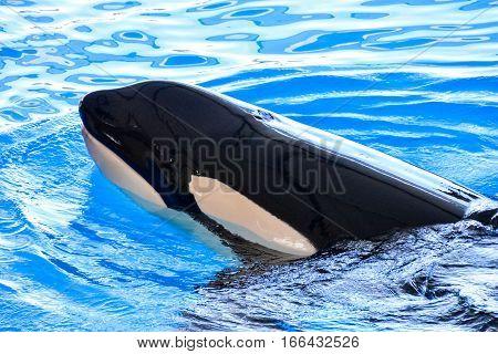 Mammal Orca Killer Whale Fish