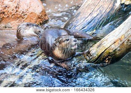Mammal Nutria Aonix Cinerea