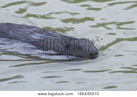 European beaver Castor fiber swimming in winter river close-up portrait selective focus shallow DOF