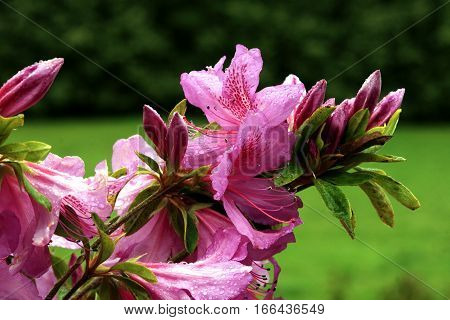 Azaleas are flowering shrubs now classified in two subgenera of Rhododendron - the subgenus Pentanthera, typified by Rhododendron nudiflorum and the Rhododendron subgenus Tsutsusi tsutsusi.