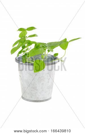 Basil sprouts in metal flower pot isolated on white. Young sprouts ready for planting. Gardening concept.