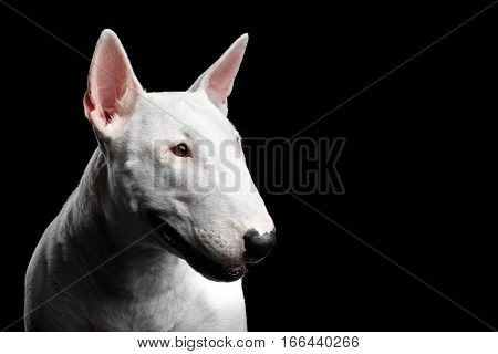 Close-up portrait of White Bull Terrier Dog Looking side on isolated black background, profile view