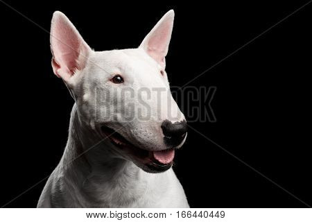 Close-up portrait of Happy White Bull Terrier Dog Looking side on isolated black background, profile view