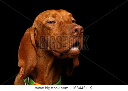 Close-up Portrait of suspicion Hungarian Vizsla Dog with squints Eyes on isolated black background