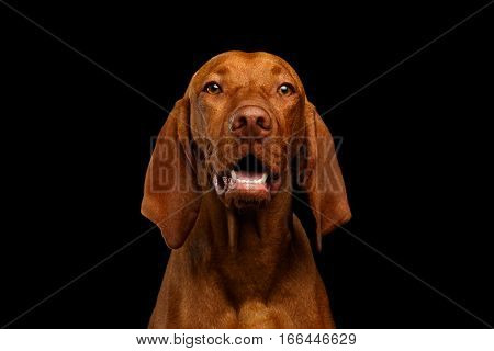 Close-up Portrait of Happy Hungarian Vizsla Dog looking in camera on isolated black background, front view