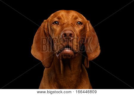 Close-up Portrait of Hungarian Vizsla Dog looking in camera on isolated black background, front view
