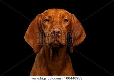 Close-up Portrait of Hungarian Vizsla Dog Serious looking in camera on isolated black background, front view