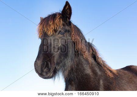 Portrait head of black frieze horse with blue sky