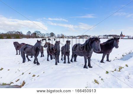 Herd of black frieze horses in snow during winter season