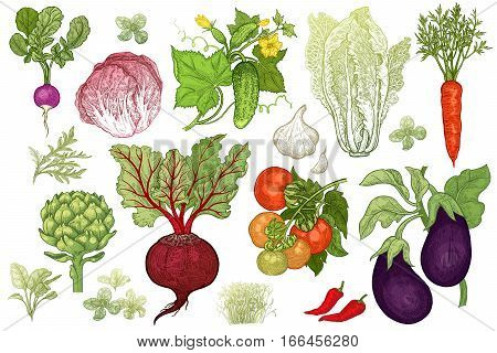 Vegetables roots salads spices isolated on white background set. Color hand drawing of plants. Vector illustration art. Vintage engraving. Sketch of vegetarian food for kitchen and restaurant design
