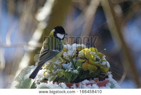 bird tit on tree background  in winter scenery