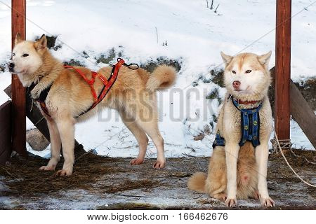 Sled Husky are waiting for their musher. Working sled dogs of the North. Husky sledding in the winter. North active dog in the harnesses to drive in the snow.