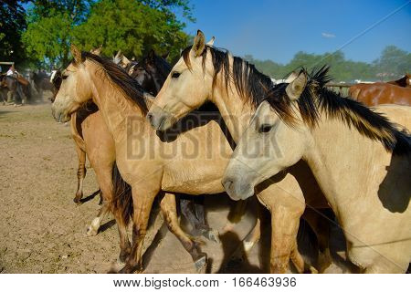 Buckskin horses in a paddock at sunny midday.