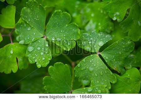 Aquilegia Beautiful Large Leaves With Dew On Green Background