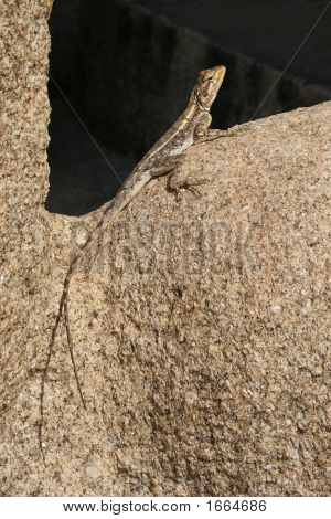 Broun lizard sitting on a sun lit stone. poster