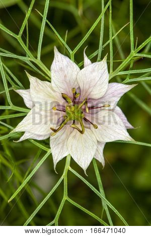 Nigella damascena, white flower star. Macro. Nigella damascena (love-in-a-mist, ragged lady or devil in the bush) is an annual garden flowering plant, belonging to the buttercup family Ranunculaceae.