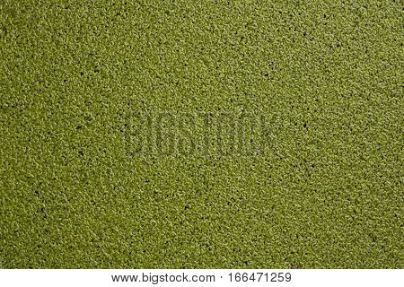 Green Duckweed textured background filling the entire frame